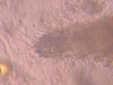 Irpex lacteus image