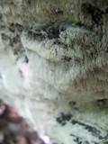 Antrodia albida image