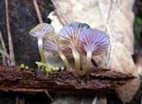 Chromosera cyanophylla image