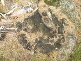 Inonotus dryadeus image