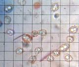 Leptonia undulatella image