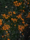 Pyronema omphalodes image