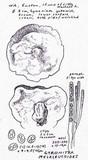 Gyromitra melaleucoides image
