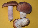 Russula brunneola image