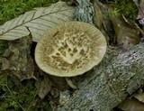 Polyporus craterellus image