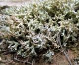 Image of Cladia corallaizon