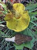 Phylloporus arenicola image