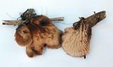 Lentinellus montanus image