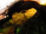 Physalacria inflata image