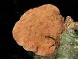 Hapalopilus nidulans image