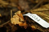 Pyrrhoglossum pyrrhum image
