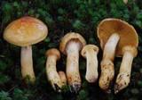 Cortinarius ignotus image