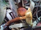 Pholiota multicingulata image