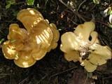 Xanthoporus syringae image