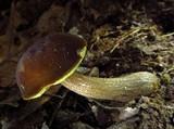 Boletellus chrysenteroides image