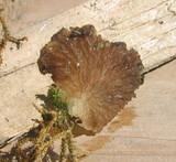 Arrhenia lobata image