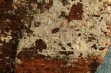 Hyphodontia alutaria image