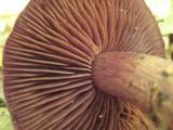 Cortinarius squamulosus image