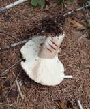 Russula acrifolia image
