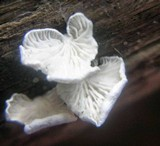 Cheimonophyllum candidissimum image