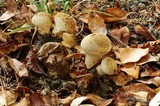 Vascellum lloydianum image