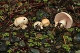 Agaricus arvensis image