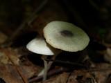 Leucocoprinus brebissonii image