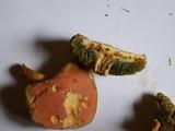 Boletus campestris image
