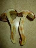 Boletus subglabripes image