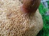 Bothia castanella image