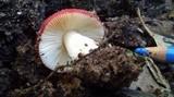 Russula persanguinea image