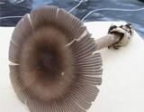Amanita battarrae image