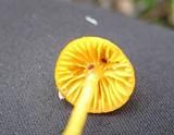 Humidicutis marginata image