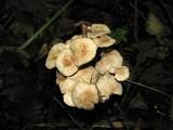 Gymnopus confluens image