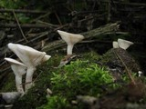 Clitopilus scyphoides image