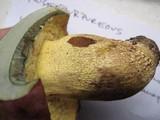 Boletus roseopurpureus image