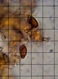 Amylocystis lapponicus image