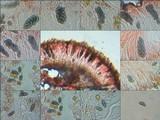 Physcia clementei image
