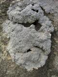 Diploschistes muscorum image