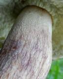 Boletus subcaerulescens image