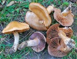 Cortinarius lucorum image