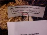Ramaria botrytis image