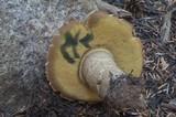 Boletus coniferarum image