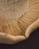 Tricholoma grave image