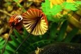 Marasmius fulvoferrugineus image