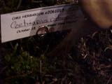 Cortinarius cotoneus image