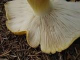 Tricholoma subluteum image