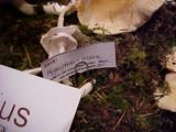 Hygrophorus piceae image
