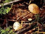 Marasmius chordalis image