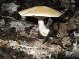 Leucopaxillus laterarius image